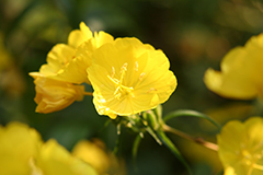 Evening primrose oil for eczema is proven to be effective in many cases.