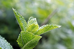 Peppermint has been used as a natural remedy for generations.