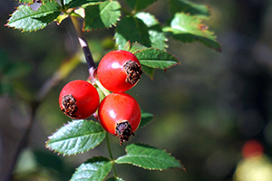 Rosehips for rich in vitamin C, which may help to explain some of the health benefits attributed to them.