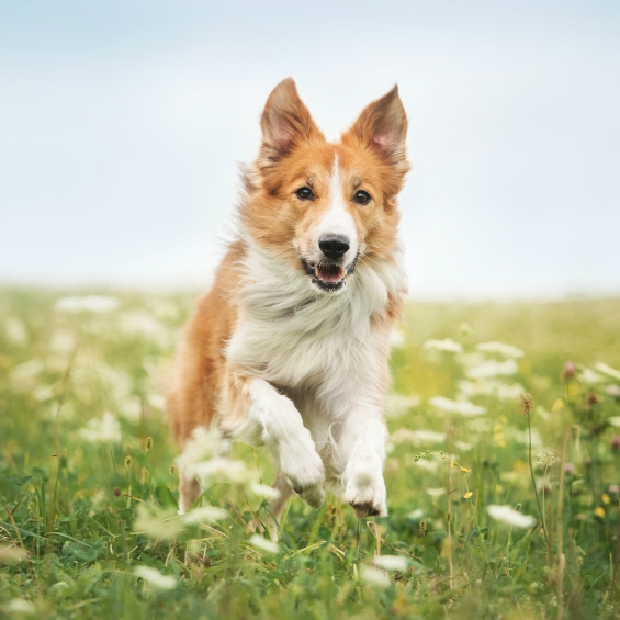 nutrition-advice-for-active-dogs